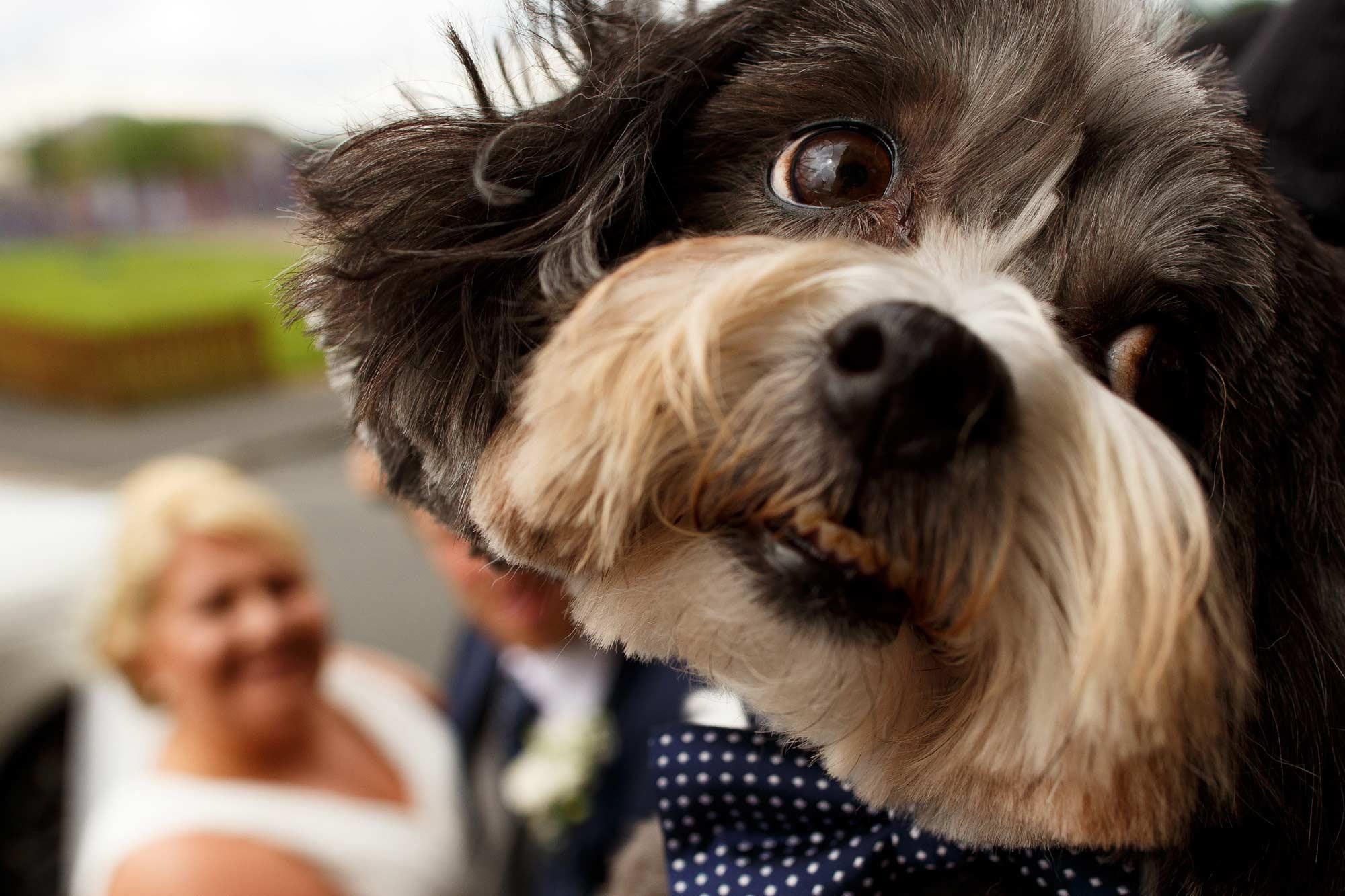 close up of a dog at a wedding