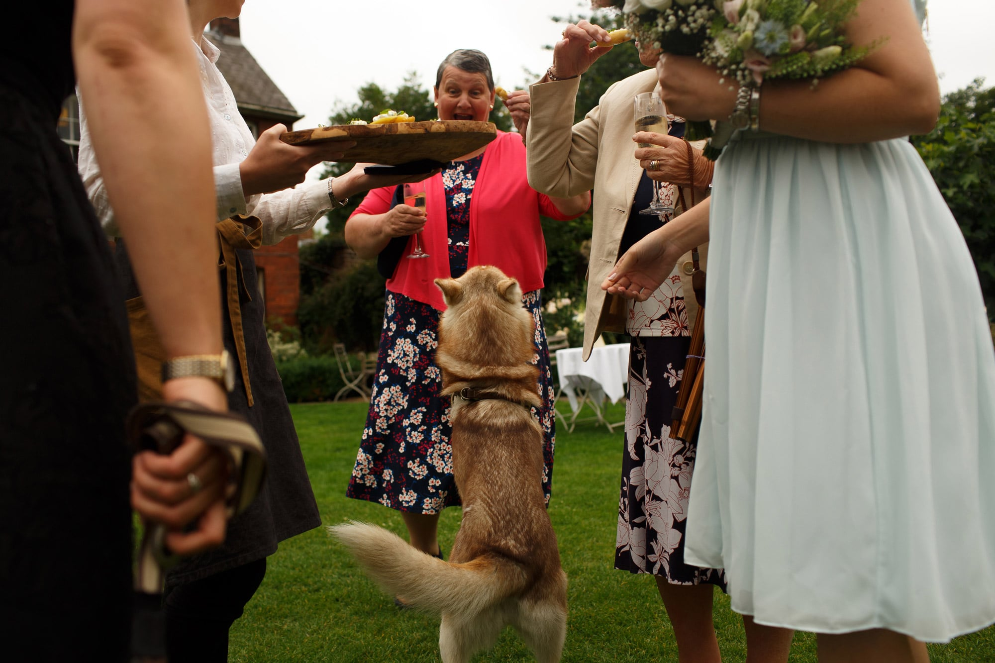 Dog jumping up at wedding guests to eat canapes during wedding reception at grays court wedding