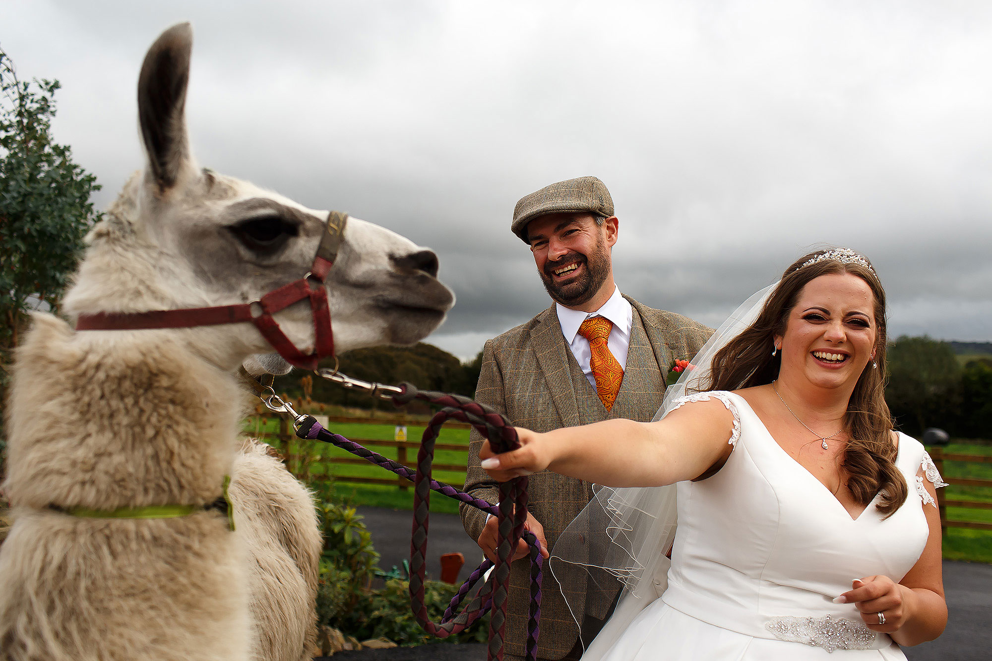 Bride and Groom wearing flat cap laughing as they hold the Alpaca at Wellbeing Farm | Wellbeing Farm wedding photographs by Toni Darcy Photography