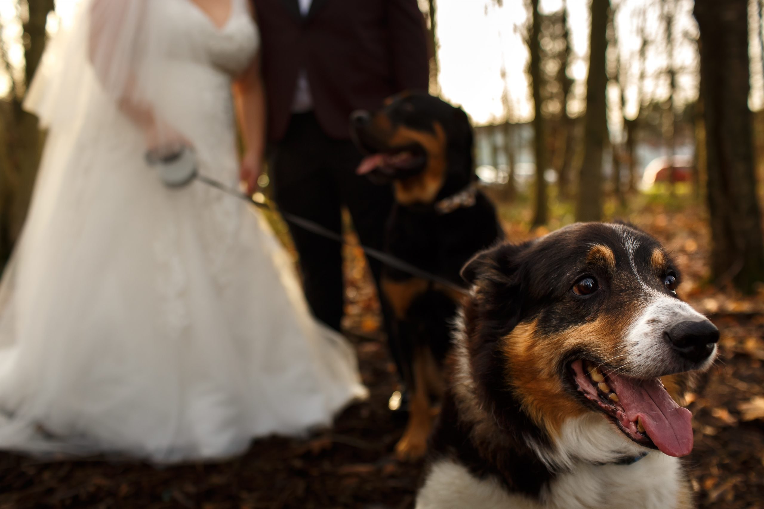 Border collie with tongue hanging out on in the woodland during couple portraits | Foxfields Country House Wedding Photography