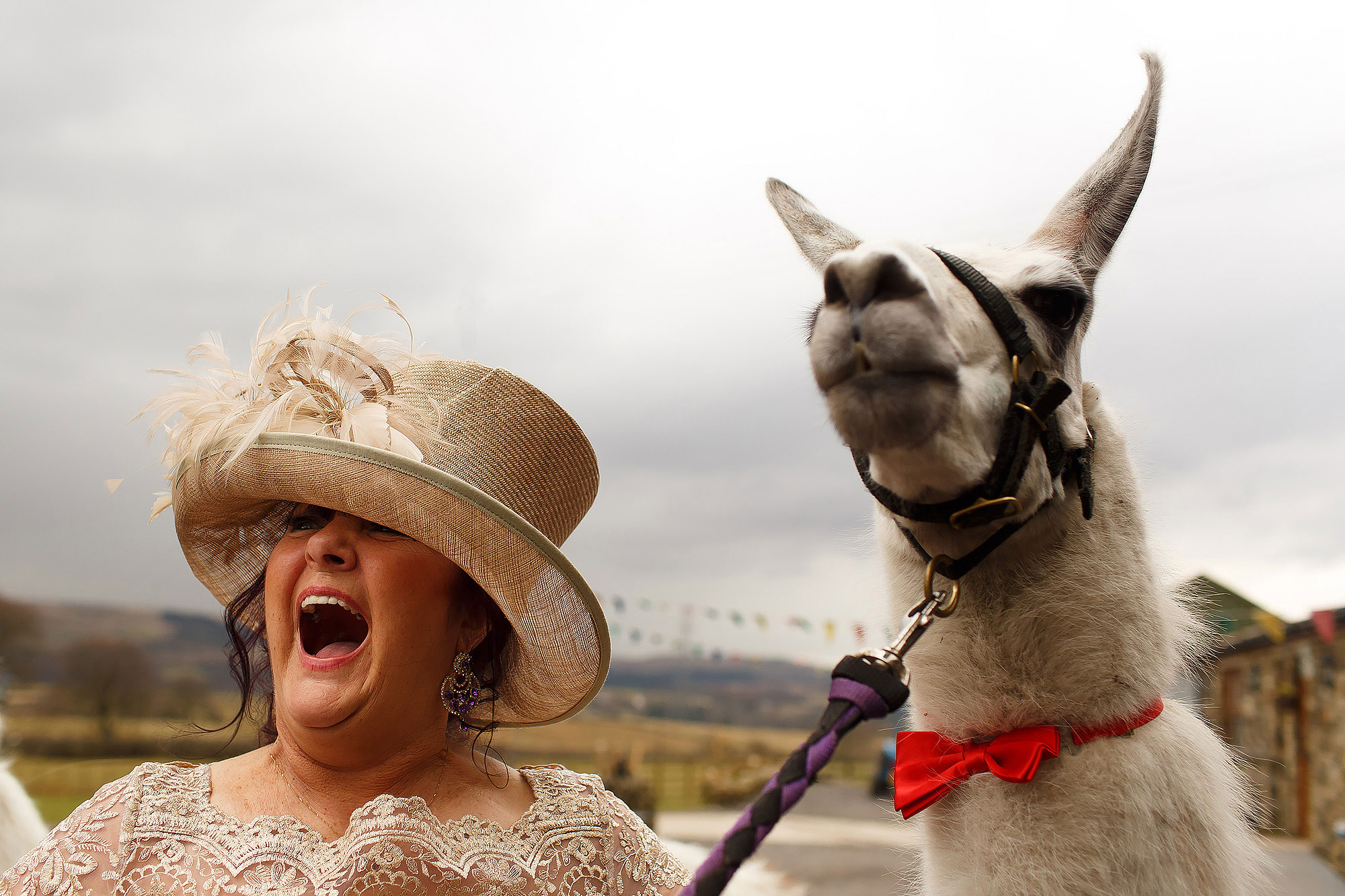 Wedding guest wearing a cream hand holding her mouth open next to alpaca | Summer wedding at Wellbeing Farm - Toni Darcy Photography