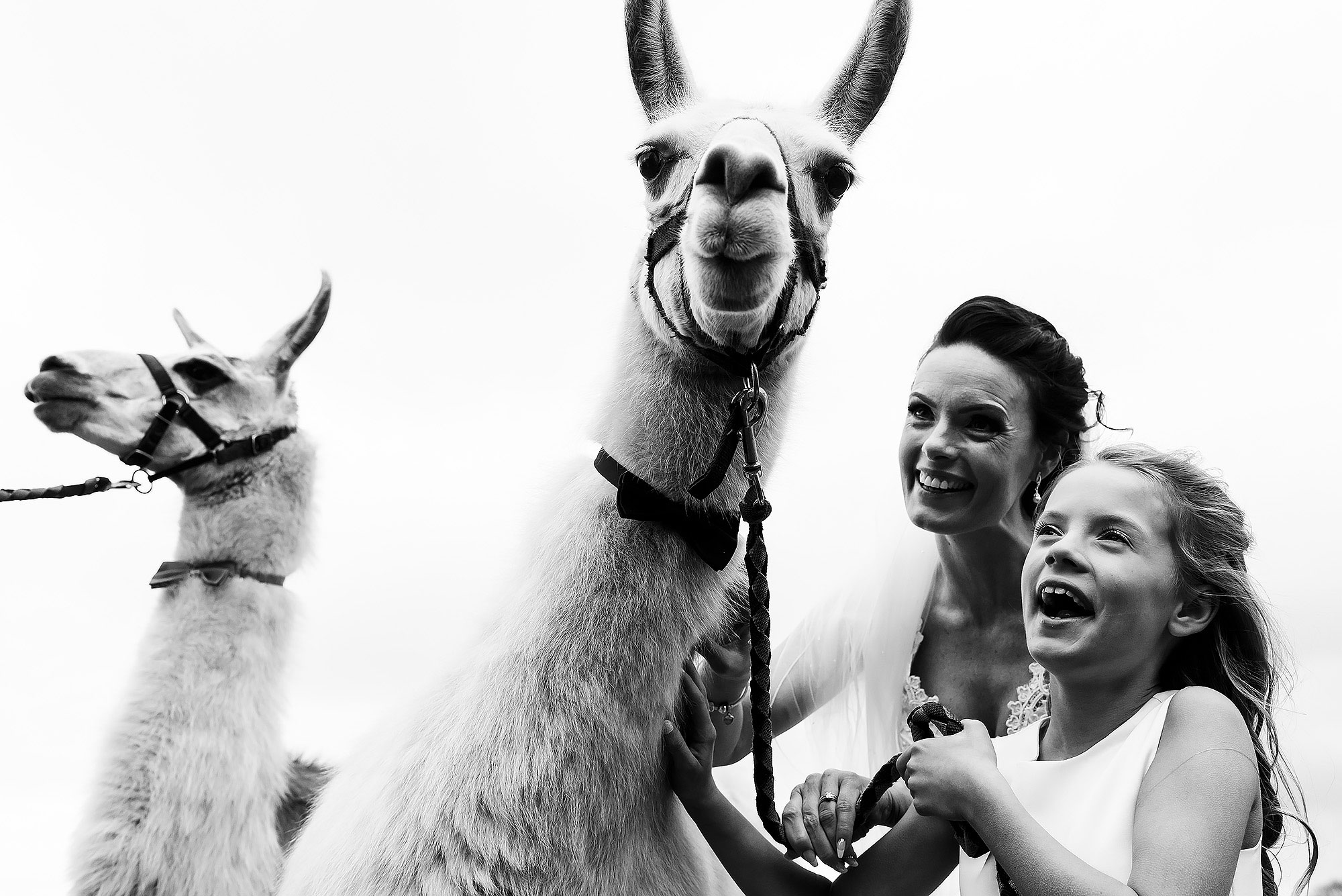 Bride and flower girl laughing holding the alpacas | Summer wedding at Wellbeing Farm - Toni Darcy Photography